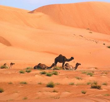Oman, Wahiba Sands, Chamels