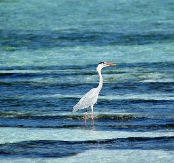 Maldives, Rangali Island, Blue Heron