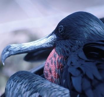 Ecuador, Galapagos, North Seymour Island, Frigatebirds