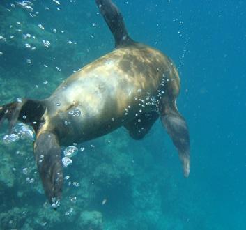 Ecuador, Galapagos, Floreana Island, Devil's Crown, Snorkling with Sea Lions