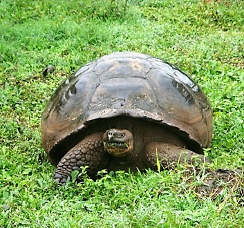 Ecuador, Galapagos, Sant Cruz Island, Giant Tortoises