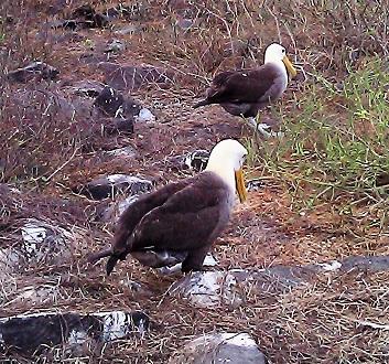 Ecuador, Galapagos, Española Island, Punta Suarez, Albatrosses