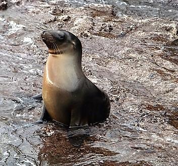 Ecuador, Galapagos, Floreana Island, Devil's Crown, Sea Lion