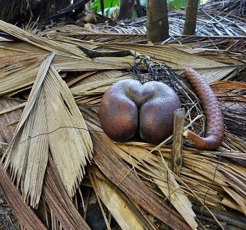 Seychelles, Praslin, Vallée de Mai Nature Reserve, Coco de Mer Giant Seeds