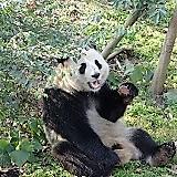 Chiny, Chengdu, Baza Badawczo-Hodowlana Pandy Wielkiej w Chengdu, Panda Wielka