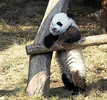 China, Chengdu, Chengdu Research Base of Giant Panda Breeding, Giant Panda Cub