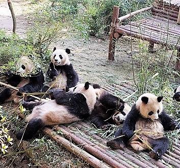 China, Chengdu, Chengdu Research Base of Giant Panda Breeding, Giant Pandas