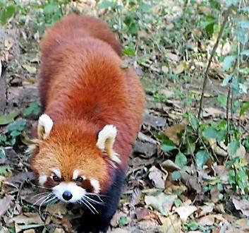 China, Chengdu, Chengdu Research Base of Giant Panda Breeding, Red Panda