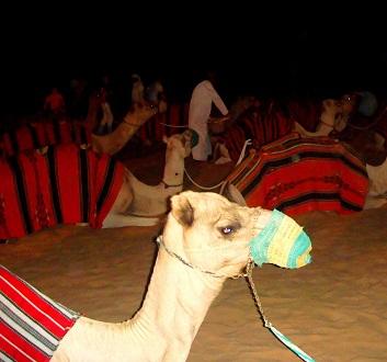 UAE, Dubai, Camels