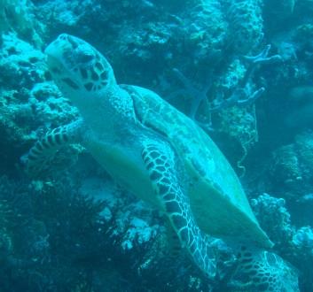 Maldives, Rangali Island, Turtle