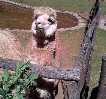 Peru, Sacred Valley, Alpaca & Lama Farm