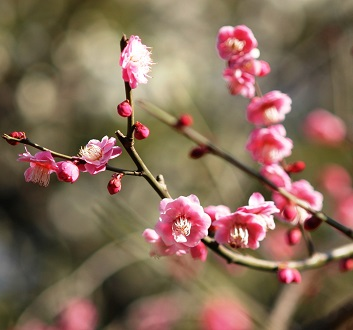 Japan, Tokyo, Imperial Palace, Cherry Blossom