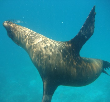 Ecuador, Galapagos, Floreana Island, Devil's Crown, Snorkling with Sea Lions
