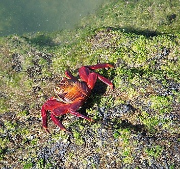 Ecuador, Galapagos, Fernandina Island, Devil's Crown, Sally Lightfoot Crabs