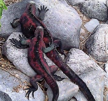 Ecuador, Galapagos, Española Island, Punta Suarez, Iguanas Changing Color