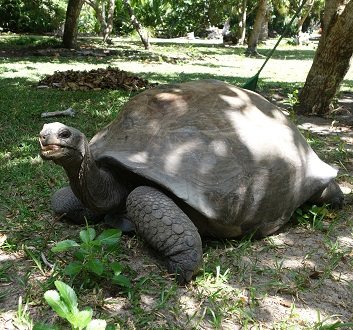 Seychelles, Curieuse Island, Aldabra Giant Tortoise