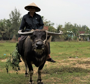 Vietnam, Farmer & Water Buffalo
