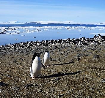 Antarctica, Devil Island, Adélie Penguins