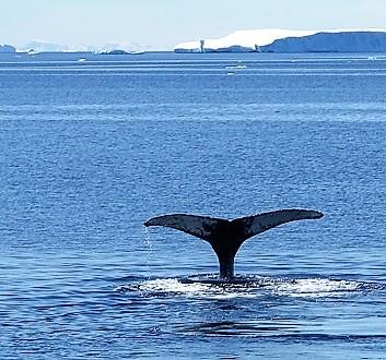 Antarctica, Whale