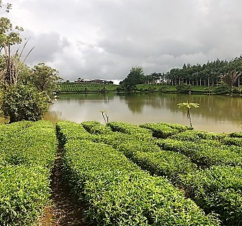 Africa, Mauritius, Tea Plantation Factory and Museum of Bois Cheri
