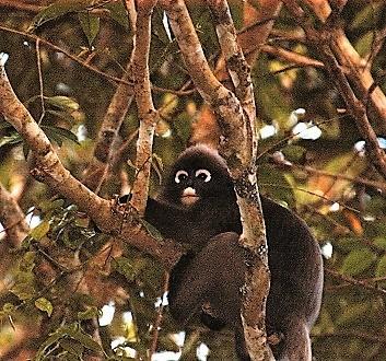 Malaysia, Penang, Penang National Park, Dusky Leaf Monkey