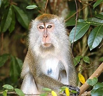 Malaysia, Penang, Penang National Park, Macaque