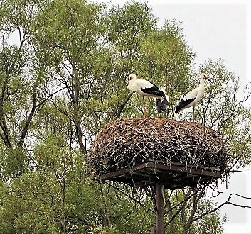 Poland, Masuria, Nests of White Storks