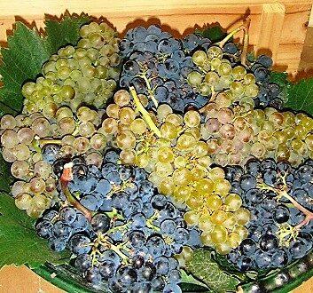 Chile, Veramonte Winery, Grapes